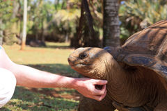Tourist touching giant turtle Stock Photo