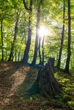 Tourist trail in the forest illuminated by the setting sun. Old stump on a forest path. Tourist trail in the forest illuminated by the setting sun. Mountain path royalty free stock photos