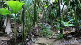 Tourist trail in Vallee de Mai Nature Reserve. Tourist trail in the Vallee de Mai Nature Reserve in Praslin. Seychelles stock footage