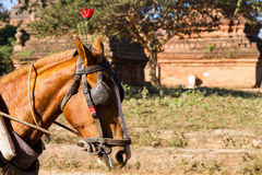 Tourist transport: horse and cart in Bagan Stock Photos