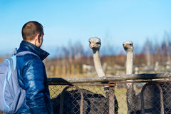 Tourist and two ostrich royalty free stock photos