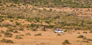 Tourist van at Masai Mara. A tourist van stops to watch a group of Masai Giraffes (Giraffa camelopardalis tippelskirchi) while near-by in the background the cows royalty free stock images