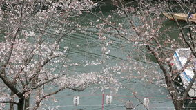Tourist viewing Cherry-blossom(Sakura) on boat in  Tokyo, Japan. Royalty Free Stock Image