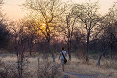 Tourist walking in the bush and Acacia grove Royalty Free Stock Photo