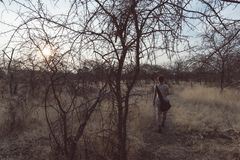 Tourist walking in the bush and Acacia grove at sunset, Bushmandland, Namibia. Adventure and exploration in Africa. Toned image. Stock Photo