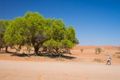 Tourist walking at Sossusvlei, Namibia. Scenic Acacia trees and majestic sand dunes, Namib desert, Namib Naukluft National Park, t. Ravel adventure in Africa royalty free stock photography
