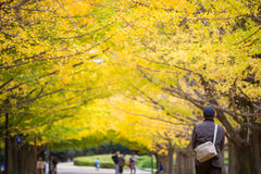 Tourist walking in yellow ginkgo leaves tunnel park Royalty Free Stock Photos