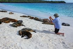 Tourist watching Galapagos sea lions at Gardner Bay on Espanola Island, Galapagos National park, Ecuador. These sea lions exclusively breed in the Galapagos royalty free stock image