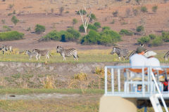 Tourist watching herd of zebras grazing in the bush. Boat cruise and wildlife safari on Chobe River, Namibia Botswana border, Afri Royalty Free Stock Images