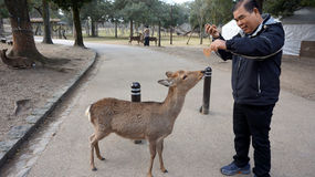 Tourist wird durch die Rotwild von nahe gelegener Nara Park auf Annäherung an Todaiji gegrüßt Stockbild