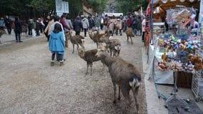 Tourist wird durch die Rotwild von nahe gelegener Nara Park auf Annäherung an Todaiji gegrüßt Stockbilder