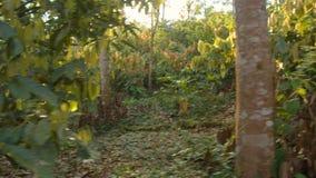 Tourist Woman Walking Through A Cocoa Plantation In The Amazon Rainforest. In Ecuador stock video footage