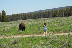 YELLOWSTONE, WYOMING-JULY 11, 2011. A tourist in Yellowstone National Park photographs a wild bison a close range. Bison can exceed speeds of 30 miles per hour stock photo