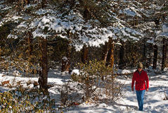 Tourist at Yumthang Valley. A tourist is roaming around the snow filled deodar, pine, oak forest at Yumthang Valley in Sikkim, India at the winter time and Stock Photography