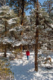 Tourist at Yumthang Valley. A tourist is roaming around the snow filled deodar, pine, oak forest at Yumthang Valley in Sikkim, India at the winter time and Royalty Free Stock Image