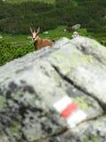 Touriste de chamois Photo libre de droits