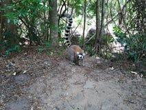 Touriste de regard de lémur de Catta image libre de droits