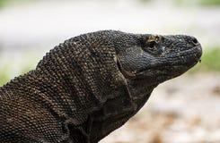 Touriste observant le dragon de Komodo marcher près de la mer à l'intérieur du parc national de Komodo image stock