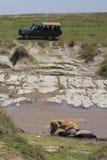 Touristen auf aufpassender Löwin der Safari Lizenzfreies Stockfoto