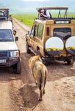 Touristen in den Autos eine Gruppe Löwinnen während eines typischen Tages einer Safari aufpassend Lizenzfreie Stockbilder