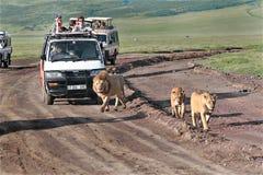 Touristen an den Jeeps, aufpassende afrikanische Löwen in wildem. Lizenzfreies Stockfoto