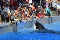 Touristen getränkt, nachdem Killerwale in der Seewelt aufgepasst worden sind Lizenzfreies Stockfoto
