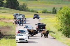 Touristen und Bison bei Custer State Park lizenzfreies stockfoto