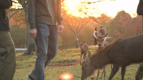 Touristes alimentant des cerfs communs en Nara Japan pendant un beau en automne banque de vidéos