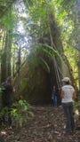 Touristes dans la jungle prenant des photos d'un géant Ceibo photos stock
