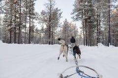 Touristes exécutant une luge tirée par des chiens en Laponie Photos stock