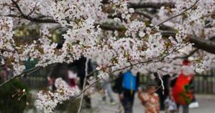 touristes 4k pour regarder Sakura, festival de fleurs de cerisier en parc de Qingdao, porcelaine banque de vidéos