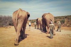 Touristes marchant avec les éléphants africains et les gardes forestières dans la réservation de jeu image libre de droits