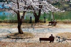 Touristes s'asseyant sur les bancs et appréciant le soleil agréable sous les fleurs de cerisier énormes image stock