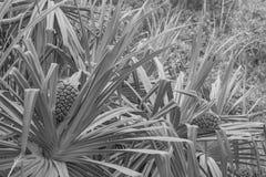Touristische Ananas stockfotos