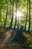Touristische Spur im Wald belichtet durch die untergehende Sonne Alter Stumpf auf einem Waldweg lizenzfreie stockfotos
