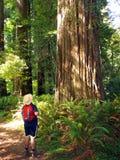 Touristischer bewundern Baum des riesigen Mammutbaums Lizenzfreie Stockfotos