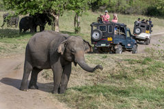 Tourists aboard a safari jeep watch a herd of wild elephants grazing in Minneriya National Park. stock photos