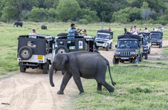 Tourists aboard safari jeeps watch a herd of wild elephants grazing in Minneriya National Park. royalty free stock image