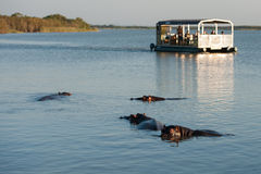 Tourists on boat looking at Hippo Royalty Free Stock Photo