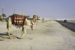 Tourists camel. Tourist camel attraction next road. Jericho Israel Palestine. Tourists ride Stock Image
