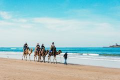 Tourists on camels on the beach. Tourism in Morocco, Algeria, Tunisia. Travel concept royalty free stock image