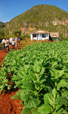 Tourists can be seen visiting Tobacco plantation in Vinales, Cuba stock photos
