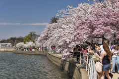 Tourists at the Cherry Blossom Festival Stock Image