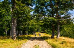 Tourists on a dirt road through beech forest. Tourists on a dirt road through Primeval Beech Forests of the Carpathians. gorgeous nature scenery in summer Royalty Free Stock Photo
