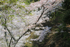 Tourists enjoy cherry blossom at Path of Philosophy in Kyoto Royalty Free Stock Photos