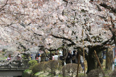 Tourists enjoy cherry blossom at Path of Philosophy in Kyoto Royalty Free Stock Photo
