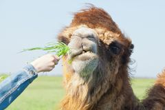 Tourists feed camel grass in the reserve Stock Photography
