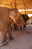 Tourists feed an elephant Royalty Free Stock Photography