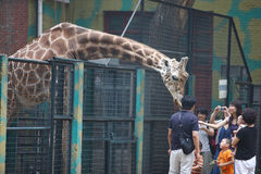 Tourists feed a giraffe Stock Image