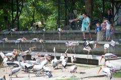 Tourists feeding the Painted Stork Bird Mycteria leucocephala. Stock Image